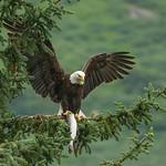 Eagle fish stories; tall tales: